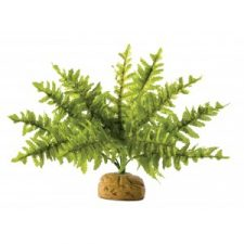 BOSTON FERN SMALL (25CM WIDE)