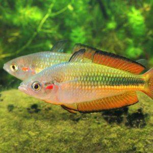crimson-spotted-rainbow
