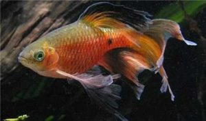 male longfin rosy barb