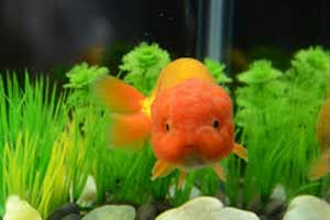 ranchu fancy goldfish